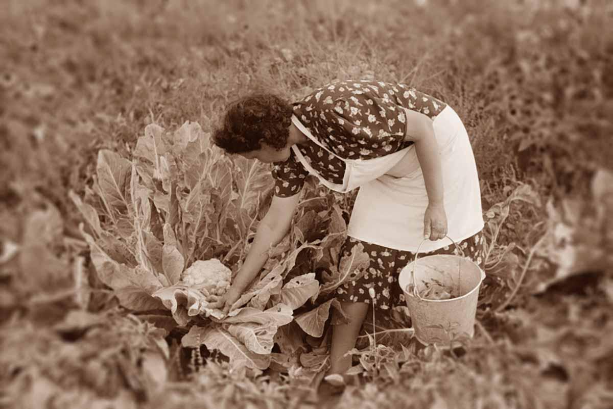 Cauliflower farm
